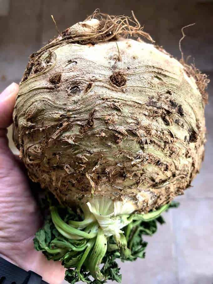 A celeriac with roots